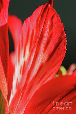 Photograph - Red Alstroemeria by Patti Whitten