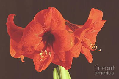 Photograph - Red Amaryllis by Allen Nice-Webb