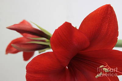 Photograph - Red Amaryllis And Bud by Robin Maria Pedrero