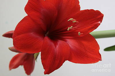 Photograph - Red Amaryllis by Robin Maria Pedrero