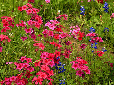 Photograph - Red An Blue Wildflowers by Charles McKelroy