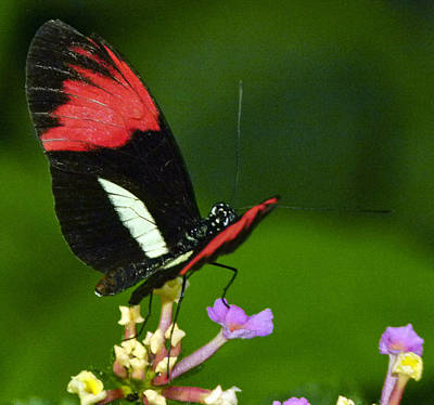 Photograph - Red And Black Butterfly by Joel Gilgoff
