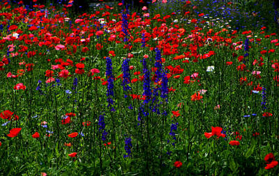 Red And Blue Wildflowers And Poppies Art Print by Martin Morehead