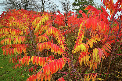 Photograph - Red And Gold Sumac In Severson Dells Natural Area by Ray Mathis