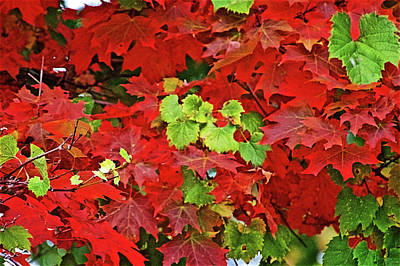 Photograph - Red And Green Leaves Along Trail To North Beach Park In Ottawa County, Michigan  by Ruth Hager