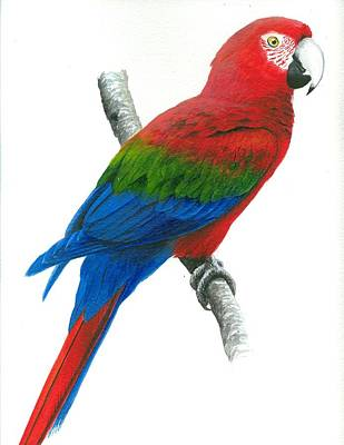 St. Lucia Parrot Painting - Red And Green Macaw by Christopher Cox