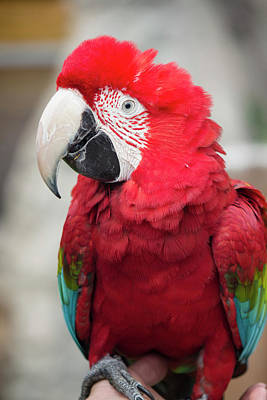 Photograph - Red And Green Macaw by Teresa Wilson