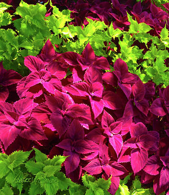 Photograph - Red And Lime Green Coleus by Robert J Sadler