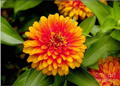 Photograph - Red And Orange Zinnia by Rod Ismay