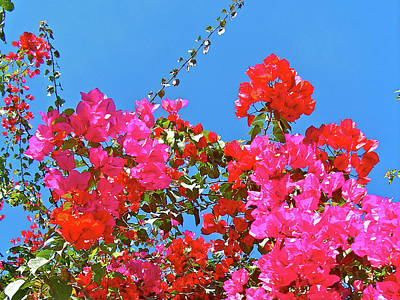 Photograph - Red And Pink Bougainvillea In El Fuerte, Sinaloa by Ruth Hager
