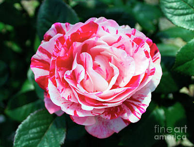 Photograph - Red And Pink Floral Candy Rose Garden 490 by Ricardos Creations