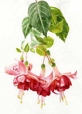 Fuchsia Painting - Red And Pink Fuchsias by Sharon Freeman
