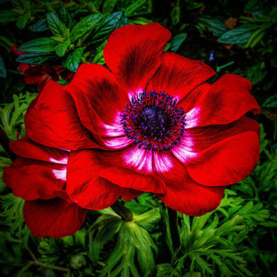 Photograph - Red  And Pink Poppy by Nick Zelinsky