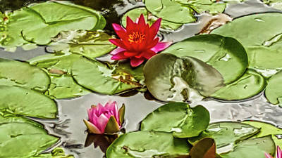 Red And Pink Water Lilly Art Print by Art Spectrum