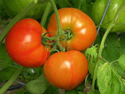 Photograph - Red And Ripe Tomatoes by rd Erickson