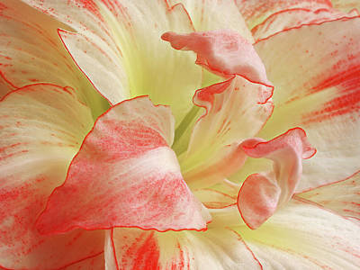 Red And White Amaryllis Abstract Horizontal Art Print by Gill Billington