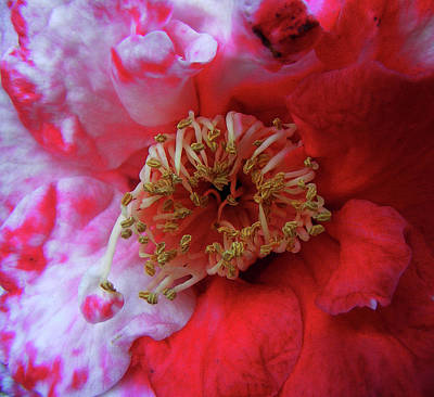 Camellia Photograph - Red And White Camellia by Wilma Stout