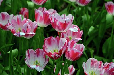 Photograph - Red And White Colored Tulips In A Sea Of Green by Imran Ahmed