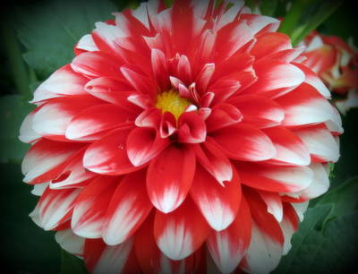 Photograph - Red And White Dahlia by Kay Novy