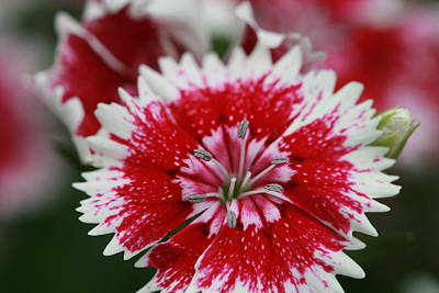 Photograph - Red And White Flower by Tim Stanley