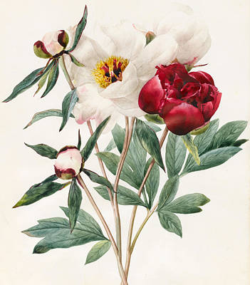 Flowers Watercolor Drawing - Red And White Herbaceous Peonies by Louise D'Orleans