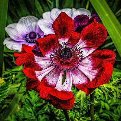 Photograph - Red And White Poppy by Nick Zelinsky