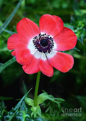 Photograph - Red And White Poppy by Sharon Woerner