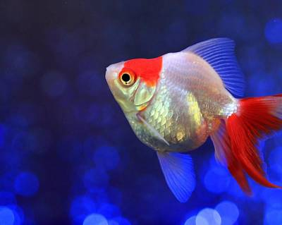 Photograph - Red And White Ryukin Goldfish by Angela Murdock