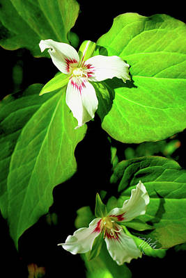 Photograph - Painted Trilliums by Meta Gatschenberger