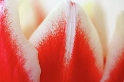 Photograph - Red And White Tulip Abstract by Debbie Oppermann