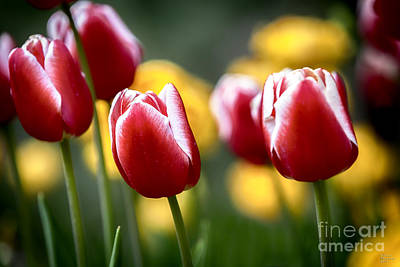 Photograph - Red And White Tulips Large Canvas Art, Canvas Print, Large Art, Large Wall Decor, Home Decor by David Millenheft