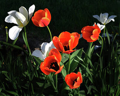 Photograph - Red And White Tulips by Kathleen Stephens
