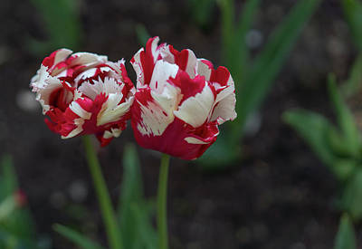 Photograph - Red And White Tulips by Radoslav Nedelchev