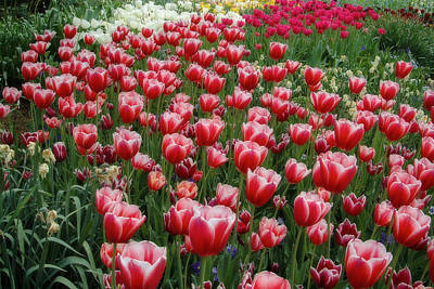 Photograph - Red And White Tulips by Steve Stuller