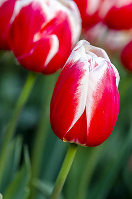 Photograph - Red And White Tulips by Teri Virbickis