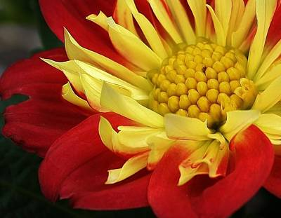 Photograph - Red And Yellow Dahlia by Bruce Bley
