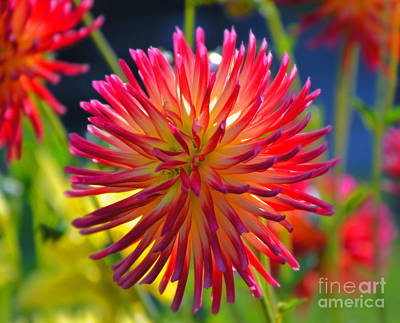 Photograph - Red And Yellow Dahlia by Frank Larkin