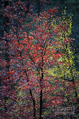 West Fork Photograph - Red And Yellow Leaves Abstract Vertical Number 1 by Heather Kirk