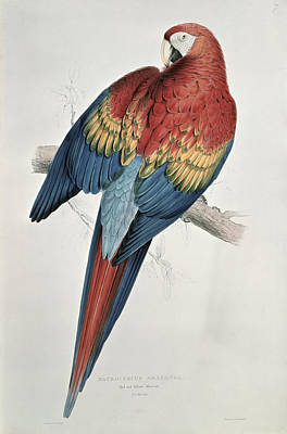 Blue And Red Painting - Red And Yellow Macaw  by Edward Lear