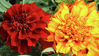 Photograph - Red And Yellow Marigolds 062618 by Mary Bedy