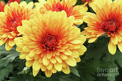 Chrysanthemum Photograph - Red And Yellow Mums by Judy Whitton