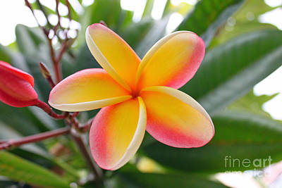 Red And Yellow Plumeria Art Print
