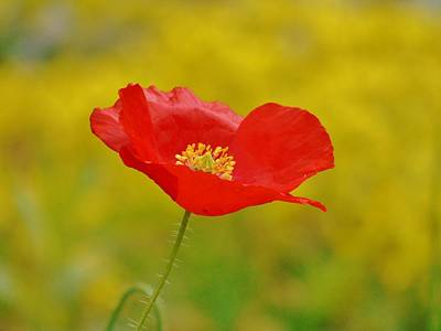 Photograph - Red And Yellow Poppy by Barbara St Jean