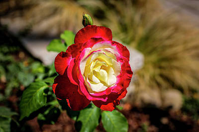 Photograph - Red And Yellow Rose by Gene Parks