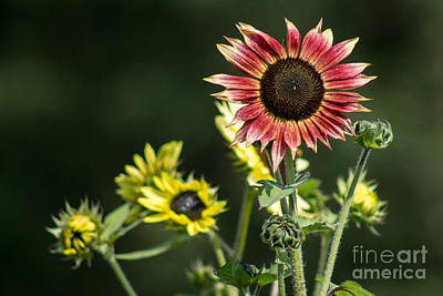Wall Art - Photograph - Red And Yellow Sunflowers by Marj Dubeau
