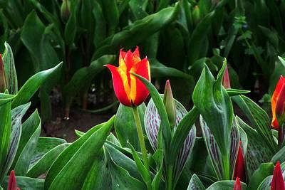 Photograph - Red And Yellow Tulip by Karen Molenaar Terrell