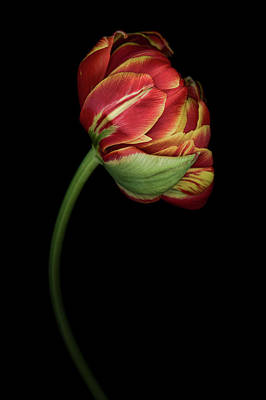 Photograph - Red And Yellow Tulip by Oscar Gutierrez