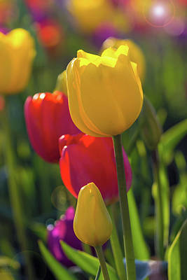 Farmland Photograph - Red And Yellow Tulips Closeup by David Gn