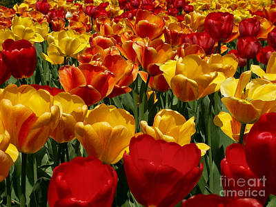 Wilderness Camping - Red and Yellow Tulips by Denny Beck