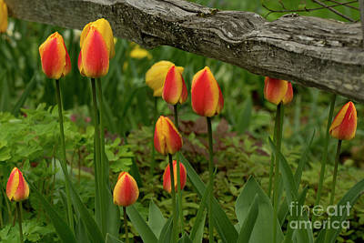 Photograph - Red And Yellow Tulips by Loriannah Hespe